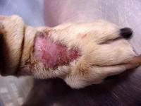 cane lesione zampa
