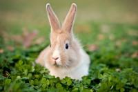udito coniglio