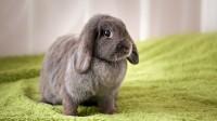 cosa sente il coniglio