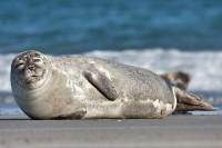 foca del polo nord
