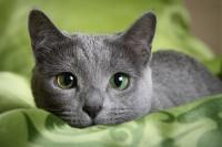 Gatto Blu russo