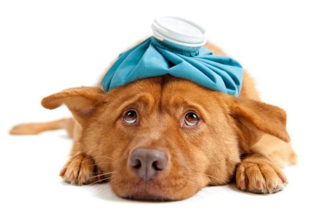 Foto Gastroenterite Virale (Parvovirosi) del Cane e come curarla