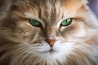 gatti e vista infrarossi