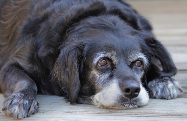 Foto Babesiosi Canina o Piroplasmosi del Cane e come curarla