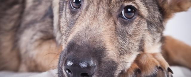 Foto Gastroenterite emorragica nel cane: cause, sintomi e trattamento