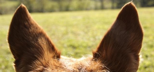 Foto Sordità nel cane: cause e cure