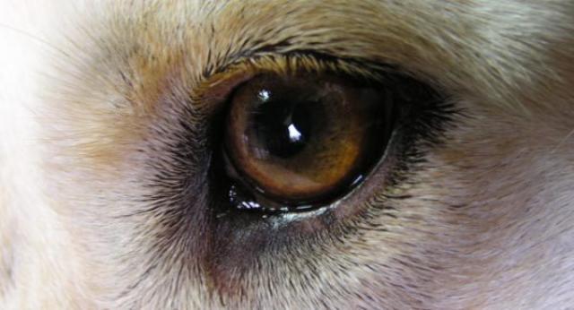 Foto Prendersi cura degli occhi del cane
