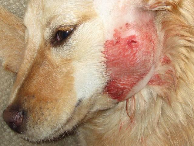 Dog Blister On Side Ear