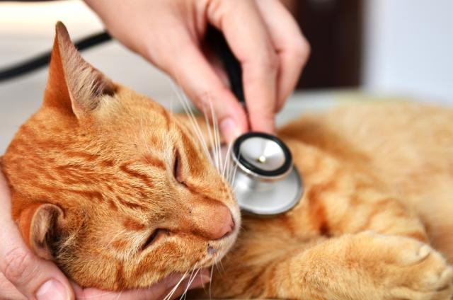 Foto Filariosi cardiopolmonare nel Gatto: sintomi e cure