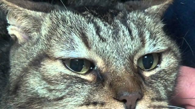 Foto Tumore dell'occhio nel gatto: sintomi e cure