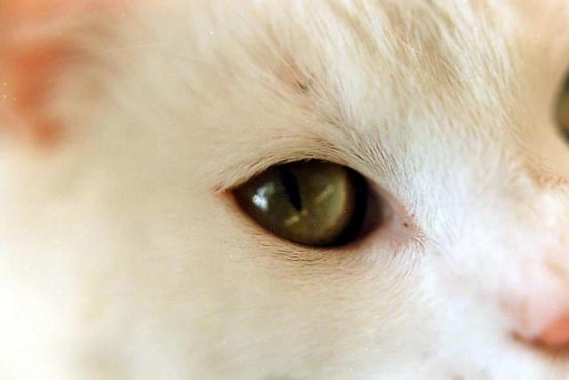 Foto Infiammazione della cornea (cheratite eosinofila) nel Gatto