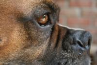 Foto Tumore al cervello nel cane: sintomi e cure
