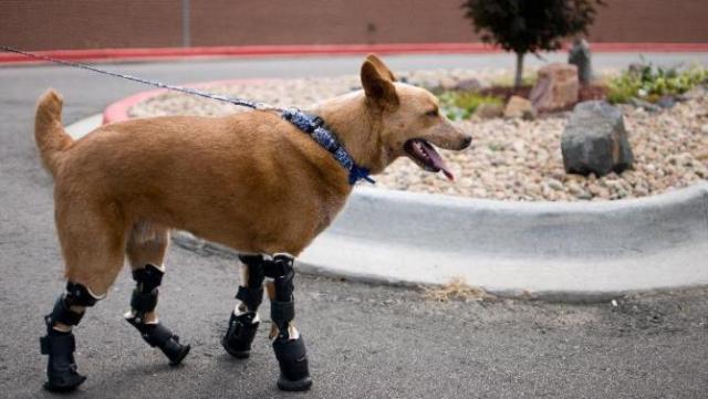Foto Protesi per cani: cosa c'è da sapere