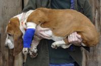 Foto Rottura del legamento crociato nel cane: sintomi e cure
