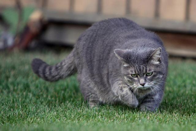 Foto Gatti obesi: 9 proprietari su 10 lo ignorano