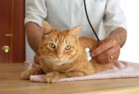 Foto Pancreatite nel gatto: sintomi e cure