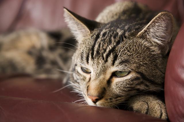 Foto Il gatto ha il diabete? alcuni consigli