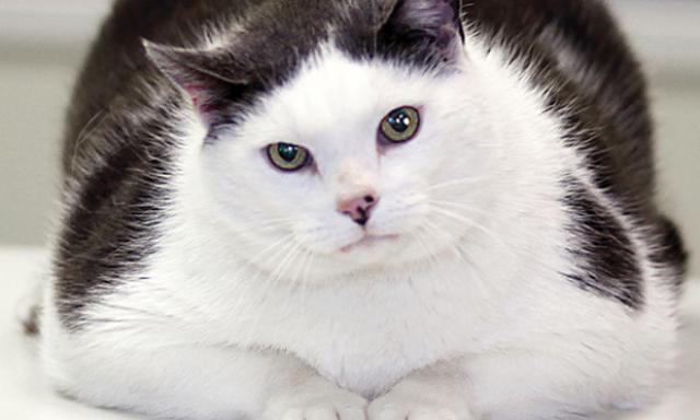 Foto Lipidosi epatica o sindrome del fegato grasso nel gatto