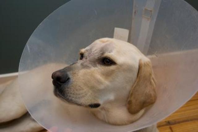 Foto La Rogna nel Cane (scabbia canina)