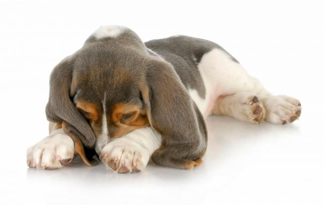 Foto La tigna nel cane: cause e cure