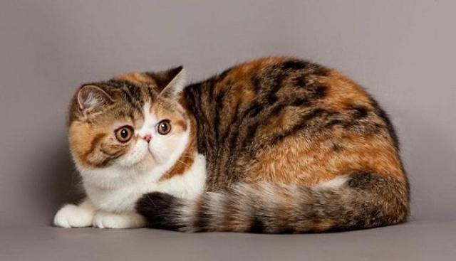 gatto persiano americano