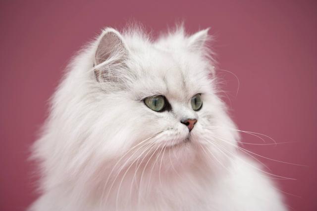 gatto persiano chinchilla