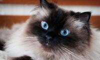gatto persiano himalayano