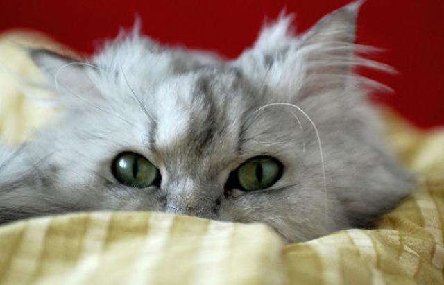 Foto Principali problemi di salute nel Gatto Persiano