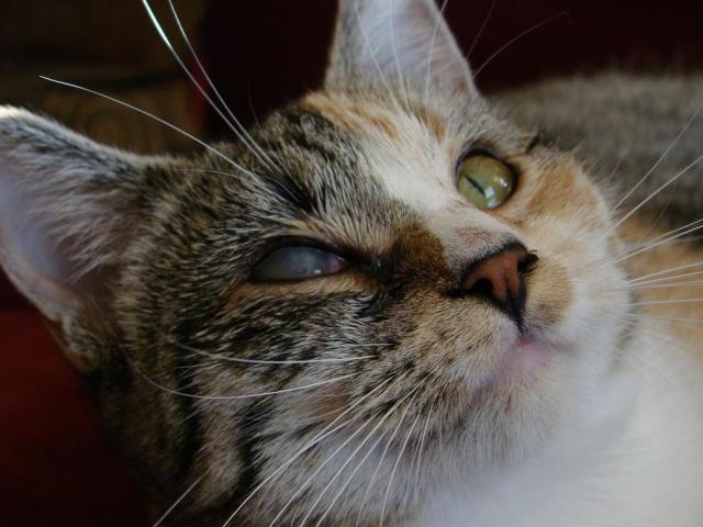 Foto Rinotracheite del Gatto o herpesvirus felino  e come curarla
