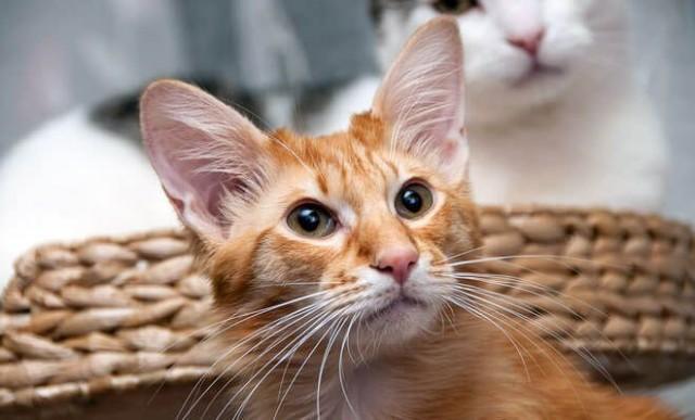 gattino razza giavanese
