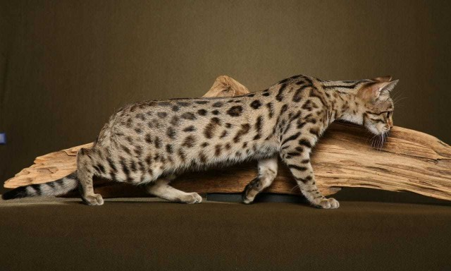 gattino razza bengala