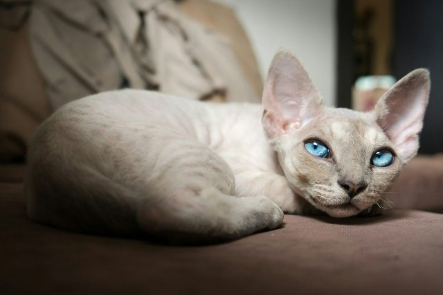 gattino razza devon rex