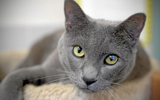 gattino razza blu di russia