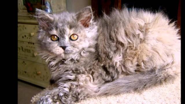 gattino razza Laperm