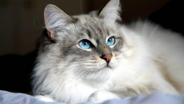 gattino razza siberiano