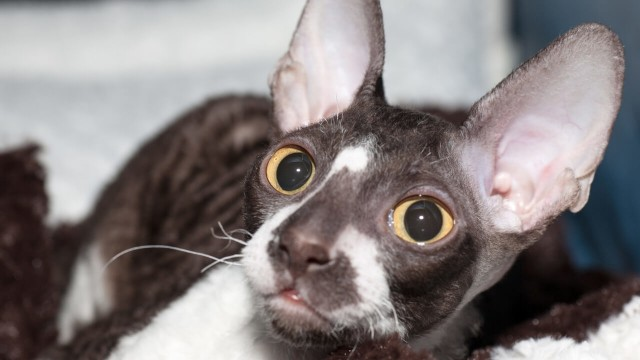 gattino razza Cornish Rex