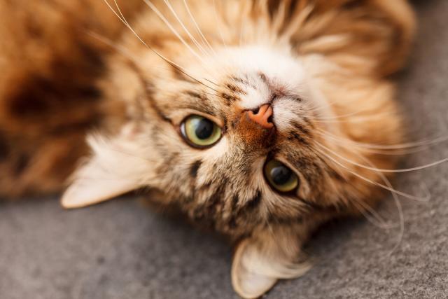 Foto Malattia della pelle nel Gatto Persiano