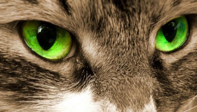 pomata per infezione dellocchio di gatto
