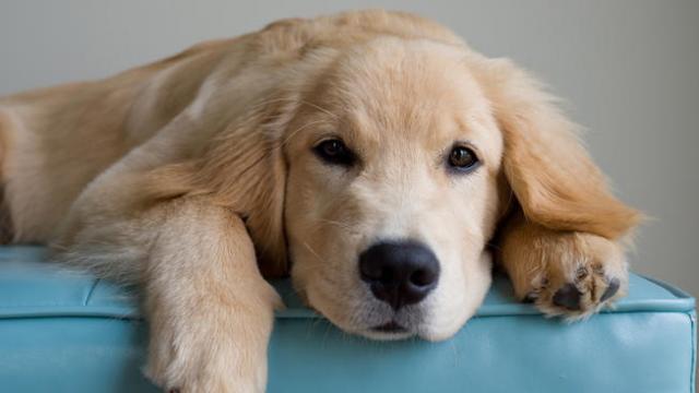 Foto Tumore allo stomaco (Apudoma)  del Cane: sintomi e cure