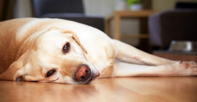 Foto Il cane è debole e stanco? Cause e trattamento