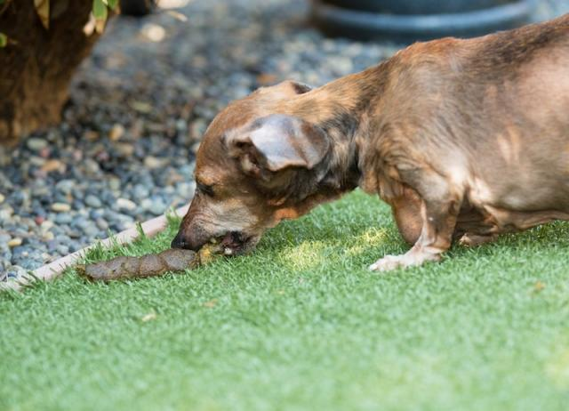 What Happens When A Dog Eats Human Poop