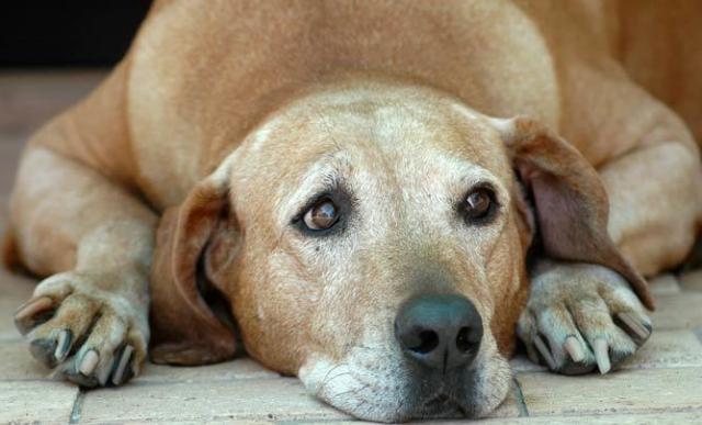 Foto Problemi alla prostata nel Cane