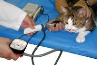 Foto Ipertensione nel gatto: cause e cure