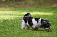 Foto Perchè il cane mangia la sua cacca?