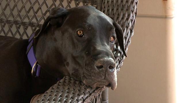 Foto La malattia di Cushing nel cane: cause e cure