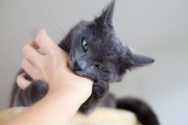 Foto Il gatto è aggressivo? Cause e rimedi