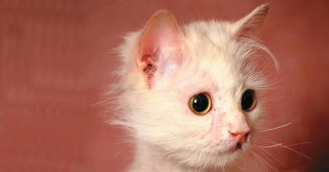 tigna gatto