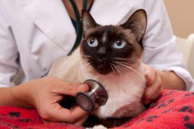 Foto Asma nel gatto: cosa c'è da sapere