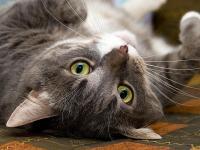 Foto Cancro nel Gatto: il Linfoma