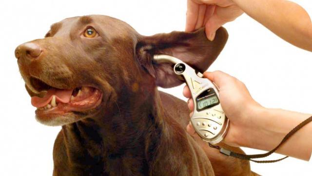 Foto Come misurare la febbre al cane o gatto